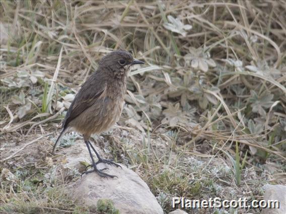 Moorland Chat (Cercomela sordida)