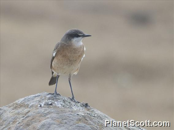 Red-Breasted Wheatear (Oenanthe bottae)