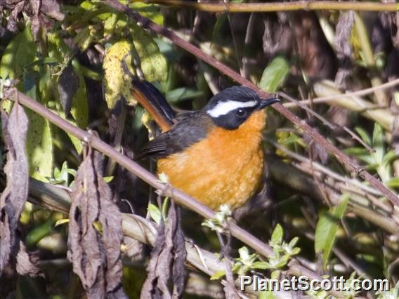 Rueppell&#39;s Robin-Chat (Cossypha semirufa)