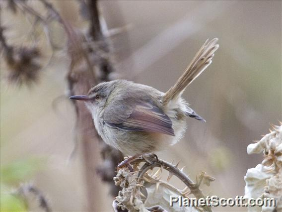 Tawny-flanked Prinia (Prinia subflava)