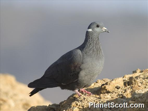 White-collared Pigeon (Columba albitorques)