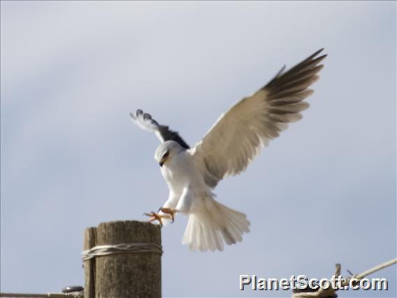 Black-shouldered Kite (Elanus caeruleus)