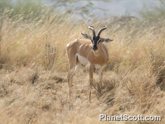 Soemmerring's gazelle (Gazella soemmerringii)