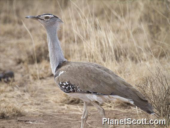 Kori Bustard (Ardeotis kori)