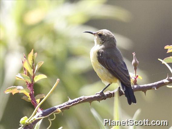 Beautiful Sunbird (Cinnyris pulchellus)