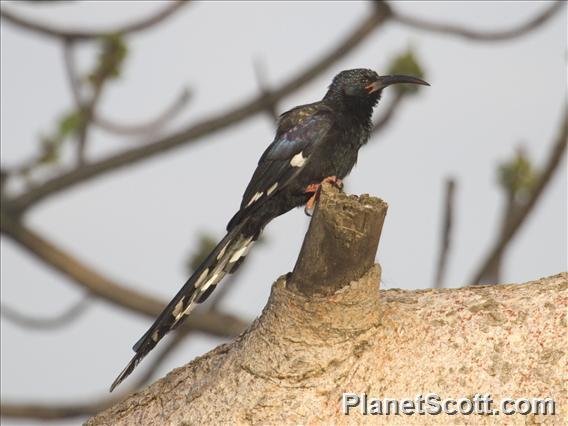 Black-billed Woodhoopoe (Phoeniculus somaliensis)