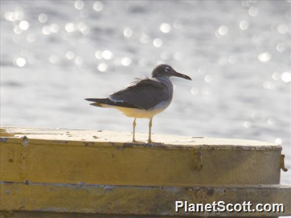 White-eyed Gull (Ichthyaetus leucophthalmus)