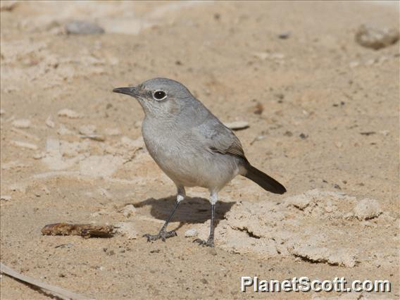 Blackstart (Cercomela melanura)