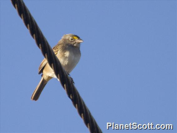 Grassland Sparrow (Ammodramus humeralis)