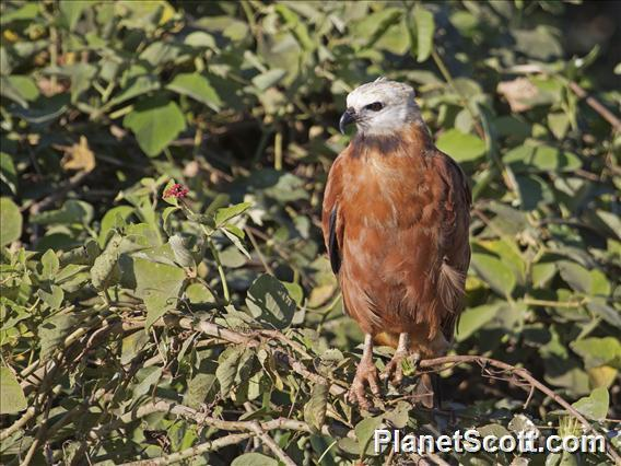 Black-collared Hawk (Busarellus nigricollis)