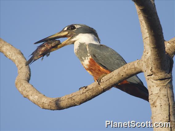 Ringed Kingfisher (Megaceryle torquata)