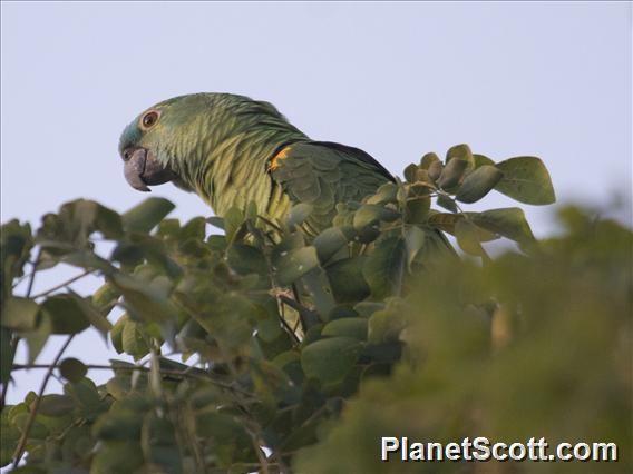Blue-fronted Parrot (Amazona aestiva)