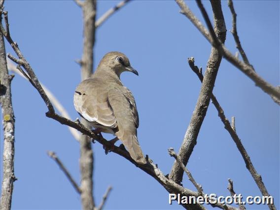 Picui Ground-Dove (Columbina picui)