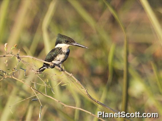 Green Kingfisher (Chloroceryle americana)