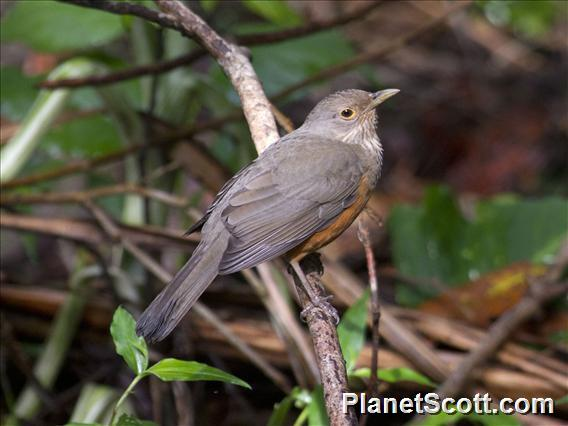 Rufous-bellied Thrush (Turdus rufiventris)