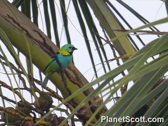 Green-headed Tanager (Tangara seledon)