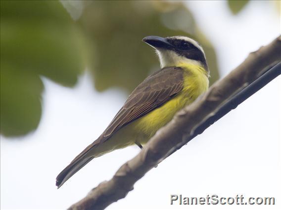 Boat-billed Flycatcher (Megarynchus pitangua)