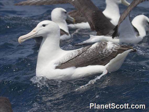 Royal Albatross (Diomedea epomophora)