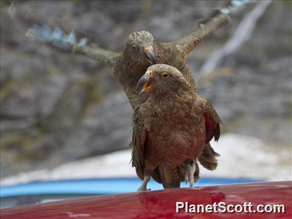 Kea (Nestor notabilis)