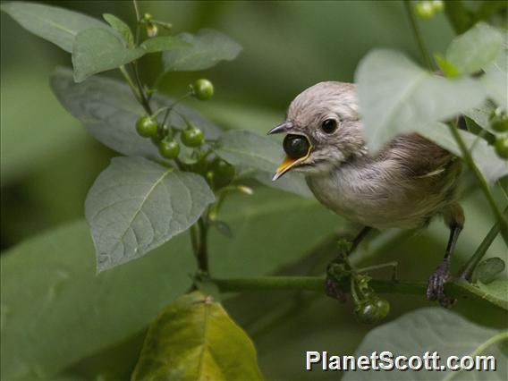 Whitehead (Mohoua albicilla)