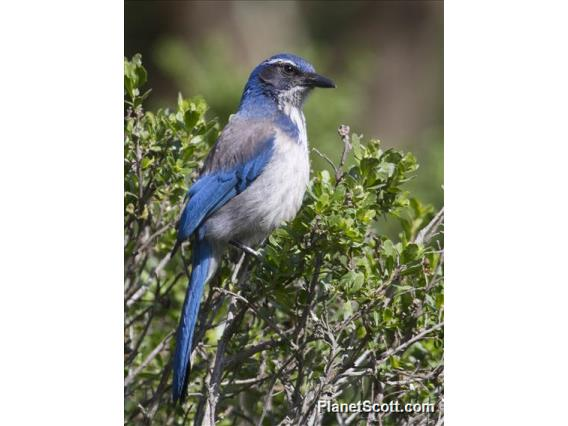 California Scrub-Jay (Aphelocoma californica)