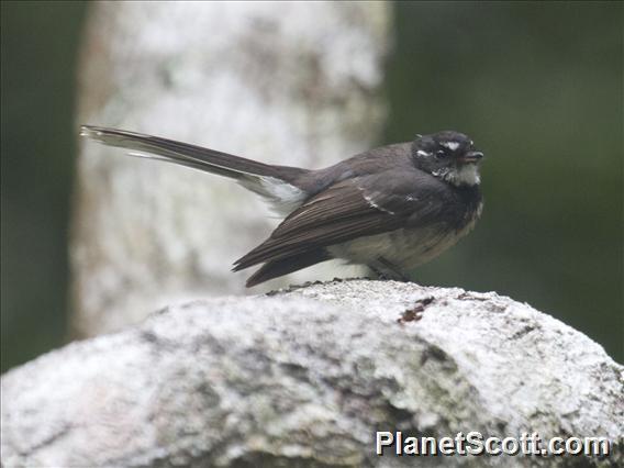Gray Fantail (Rhipidura albiscapa)