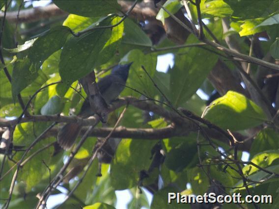 Black-naped Monarch (Hypothymis azurea)