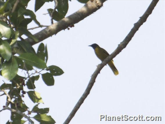 Black-headed Bulbul (Brachypodius atriceps)