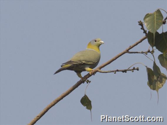 Yellow-footed Pigeon (Treron phoenicopterus)
