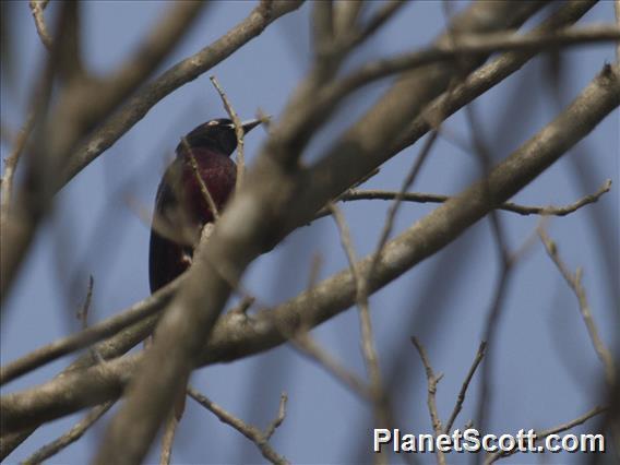 Maroon Oriole (Oriolus traillii)