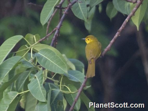 Yellow-browed Bulbul (Iole indica)