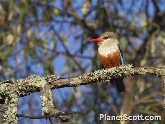 Gray-headed Kingfisher (Halcyon leucocephala)