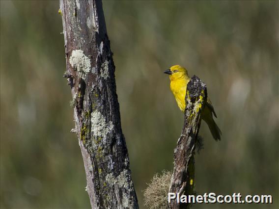 Holub's Golden-Weaver (Ploceus xanthops)