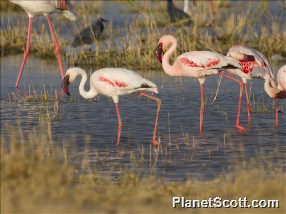 Lesser Flamingo (Phoeniconaias minor)