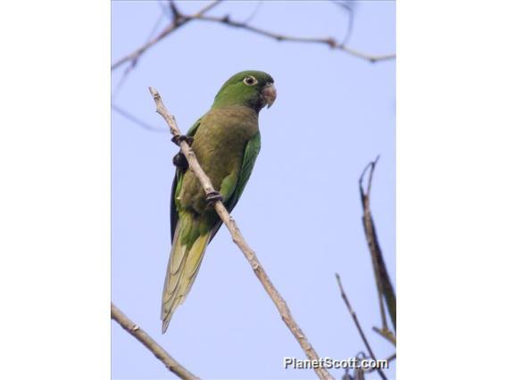 Olive-throated Parakeet (Eupsittula nana)