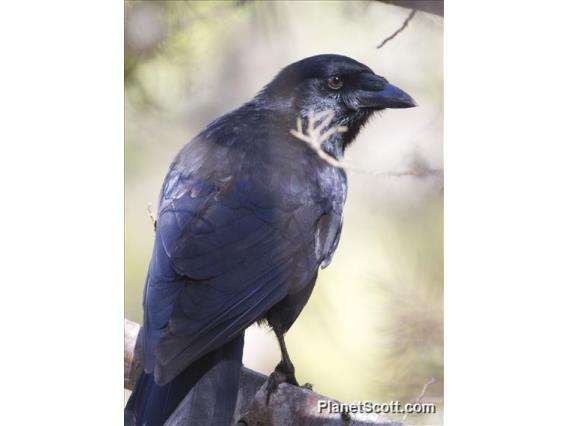 Palm Crow (Corvus palmarum)