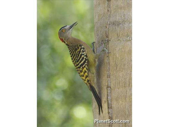 Hispaniolan Woodpecker (Melanerpes striatus)