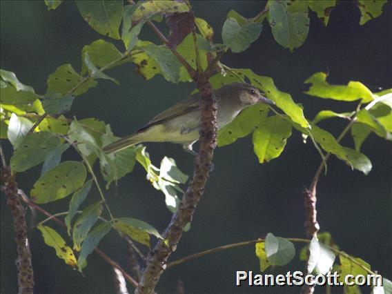 Black-whiskered Vireo (Vireo altiloquus)
