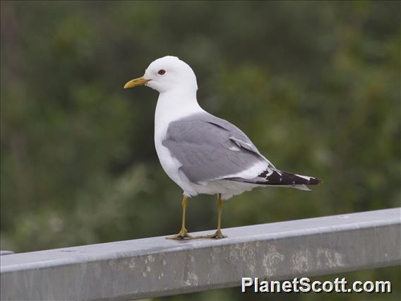 Short-billed Gull (Larus brachyrhynchus)