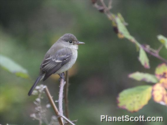 Willow Flycatcher (Empidonax traillii)