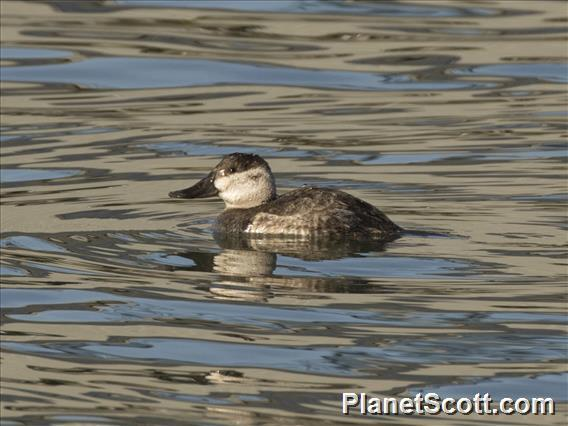 Ruddy Duck (Oxyura jamaicensis)