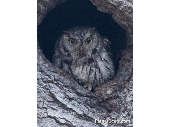 Western Screech-Owl (Megascops kennicottii)