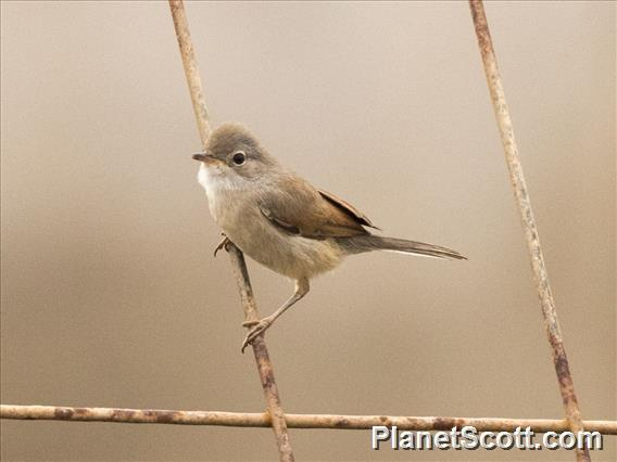 Spectacled Warbler (Sylvia conspicillata)