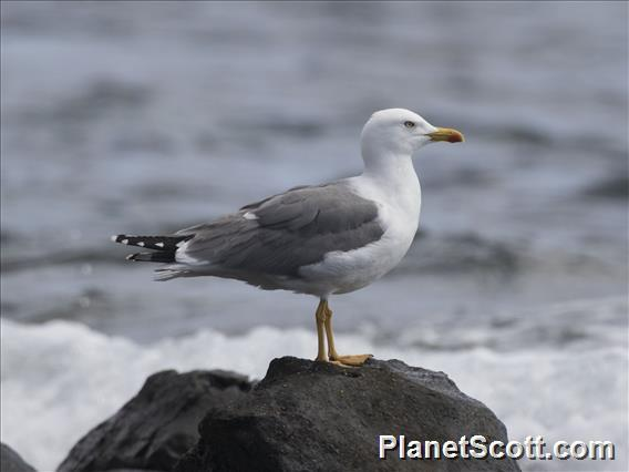 Yellow-legged Gull (Larus michahellis)