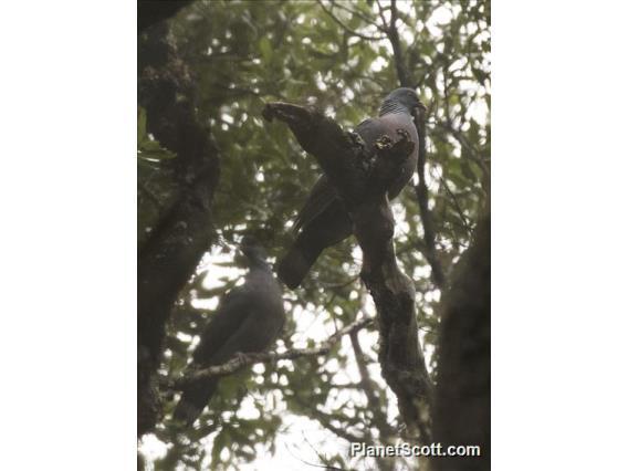 Bolle's Pigeon (Columba bollii)
