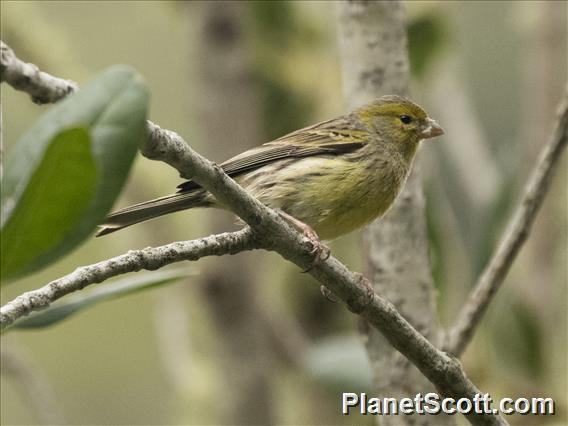 Island Canary (Serinus canaria)