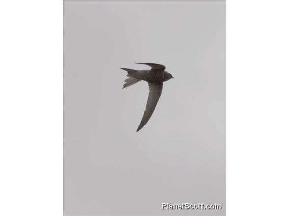 Pallid Swift (Apus pallidus)