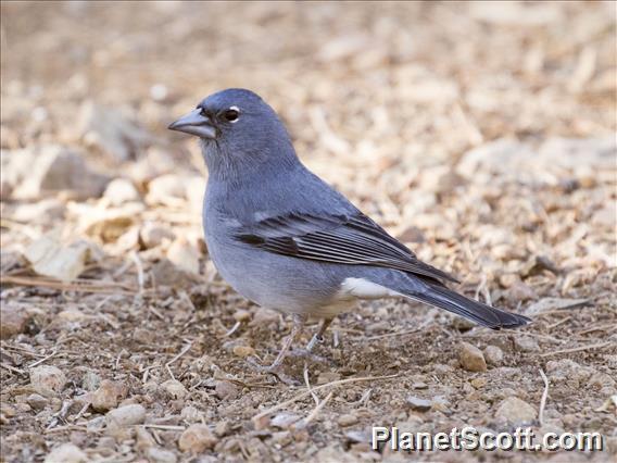 Blue Chaffinch (Fringilla teydea)
