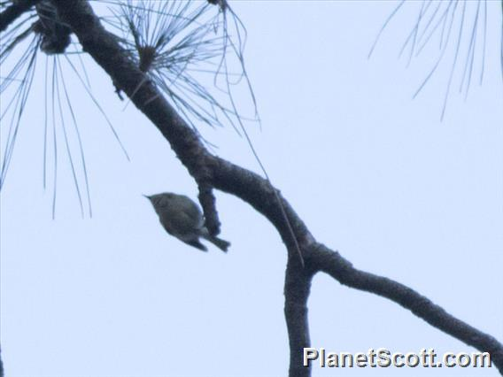 Canary Islands Kinglet (Regulus teneriffae)