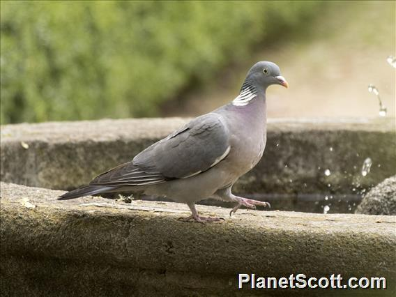Common Wood-Pigeon (Columba palumbus)